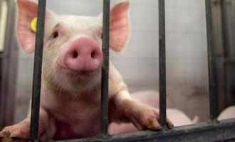 Μεταλλαγμένα γουρούνια για τη μείωση εκπομπών άνθρακα θα παράξουν οι Κινέζοι
