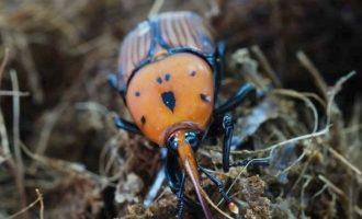 Κόκκινο σκαθάρι εμφανίστηκε πρώτη φορά στη Θεσσαλονίκη και «τρώει» φοίνικες