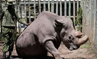 Πέθανε ο τελευταίος αρσενικός λευκός ρινόκερος του Βορρά που είχε απομείνει στον πλανήτη