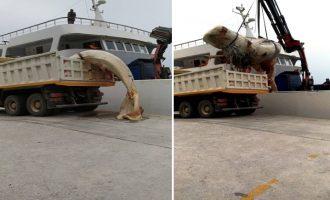 «Ψάρεψαν» νεκρή φάλαινα 9 μέτρων στη Σαντορίνη