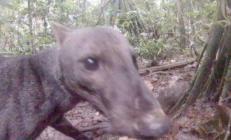Αυτός είναι ο σπάνιος σκύλος που κρύβεται στον Αμαζόνιο (φωτο+βίντεο)