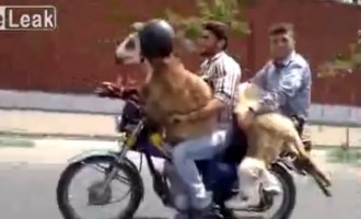 Έτσι βγάζουν τα πρόβατα βόλτα στο Ιράν (βίντεο)