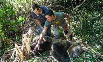 Ο Αρκτούρος απελευθέρωσε αρκούδα που πιάστηκε σε παράνομη παγίδα