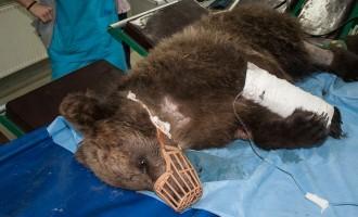 Σε κρίσιμη κατάσταση το αρκουδάκι που το πυροβόλησαν ασυνείδητοι (φωτο)