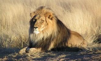 Πόσο κοστίζει να σκοτώσετε ένα λιοντάρι