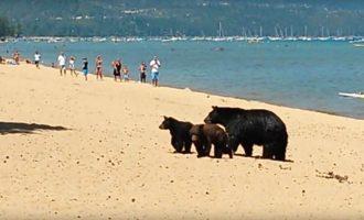 Αρκούδα με τα παιδιά της κάνει μπάνιο σε λίμνη μαζί με λουόμενους (βίντεο)