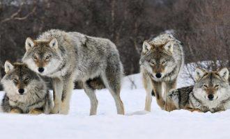 Οι λύκοι νίκησαν τους… κυνηγούς στη Νορβηγία