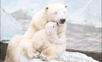 Νορβηγία: Πρόστιμα φωτιά σε όσους παρενοχλούν πολικές αρκούδες