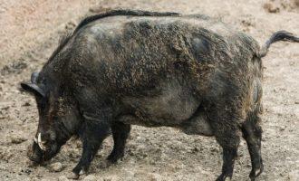 Αγριογούρουνο επιτέθηκε και τραυμάτισε κυνηγό