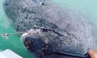 Ανακαλύφθηκε καρχαρίας 512 ετών στον Βόρειο Ατλαντικό