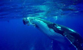 Φάλαινα 25 τόνων έσωσε δύτη από επίθεση καρχαρία (βίντεο)
