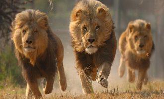 Φρίκη: Λιοντάρια κατασπάραξαν λαθροκυνηγό στη Ν. Αφρική – Άφησαν μόνο το κεφάλι