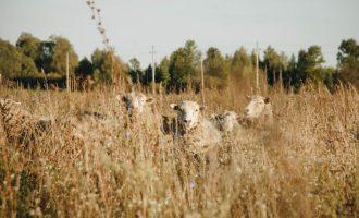 «Μαφιόζικο» χτύπημα στην Κρήτη – Έσφαξαν 200 αρνιά για εκδίκηση