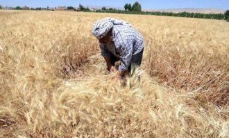 Κατέρρευσε η παραγωγή σιταριού στη Συρία – Η χώρα θα εισάγει 1,5 εκ. τόνους κυρίως από τη Ρωσία