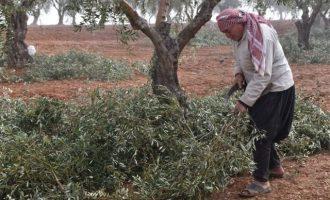 Οι Τούρκοι άρπαξαν παραγωγή ελαιόλαδου αξίας 200 εκ. δολαρίων από την κουρδική Εφρίν της Συρίας