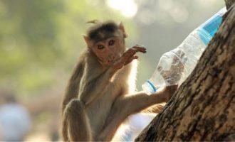 Μαϊμού πέταξε πέτρα σε νεογέννητο και το σκότωσε μπροστά στους γονείς του