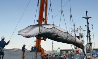 Η Ιαπωνία επιμένει να σκοτώνει φάλαινες με το πρόσχημα της «εθνικής παράδοσης»