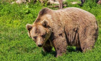 Αρκούδα έσωσε 3χρονο που χάθηκε για δύο μέρες σε δάσος