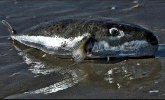 Να εξοντώσουν επικίνδυνα ψάρια από τις ελληνικές θάλασσες επιχειρούν επιστήμονες
