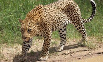 Λεοπάρδαλη κατασπάραξε 2χρονο σε εθνικό πάρκο στη Νότια Αφρική