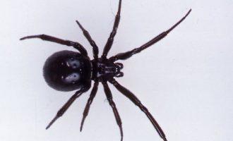 Σε νοσοκομείο της Πάτρας νοσηλεύεται 36χρονος που τον τσίμπησε μαύρη αράχνη